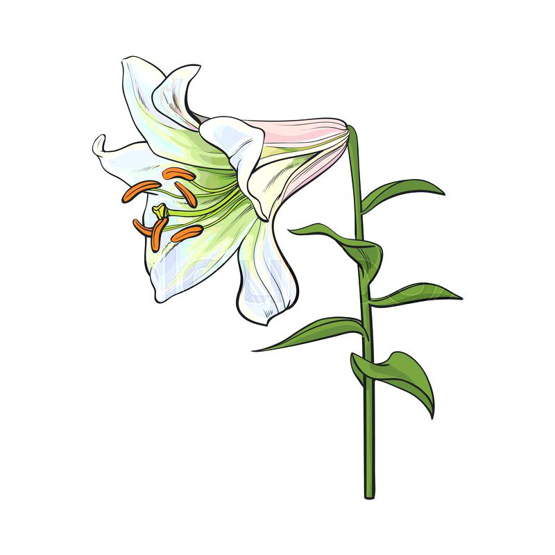 800x800 Lily Flower Drawing Set Of Hand Drawn White Lily Flowers In Side
