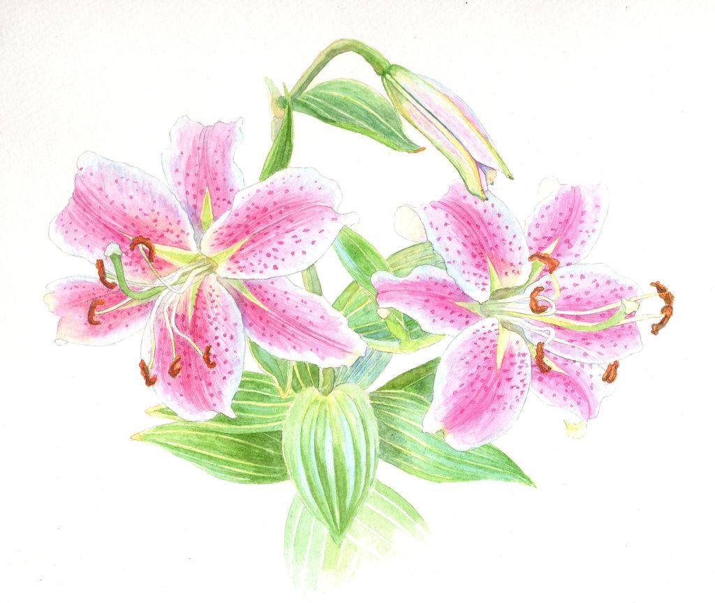 1024x864 Stargazer Lily Flowers By Ianumeric Awesome Artists