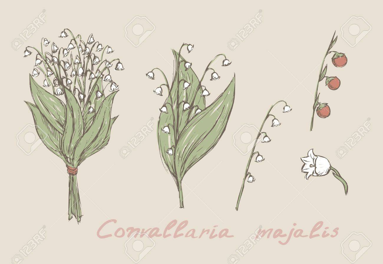 Lily of the valley drawing at getdrawings free for personal 1300x897 lily of the valley hand drawn set royalty free cliparts vectors izmirmasajfo