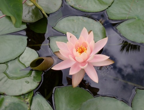 500x380 How To Draw A Water Lily Online Art Lessons