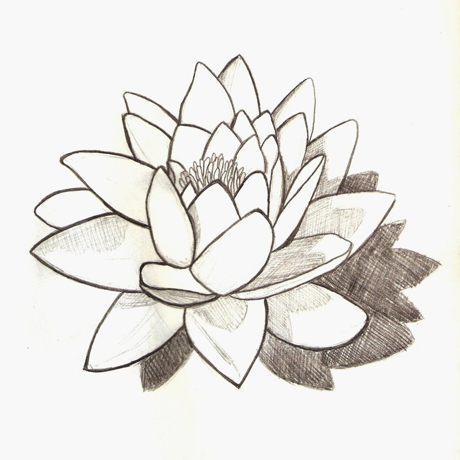 900x900 Water Lily Drawing Water Lily By Josephinecarlile Traditional