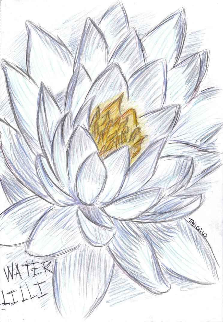 Lily Pencil Drawing At Getdrawings Free For Personal Use Lily