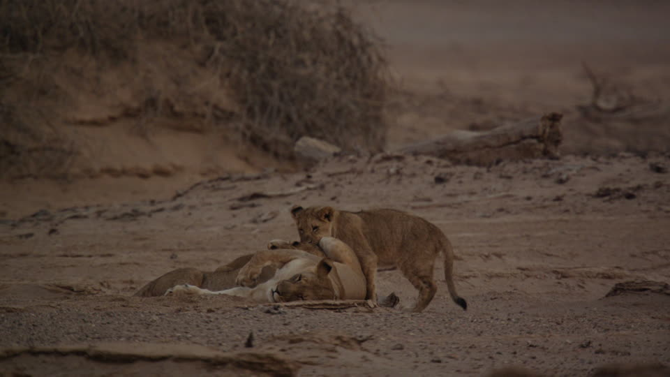 960x540 Lioness Namibia Southern Africa 4k Stock Video 989 978 806
