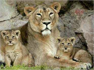 370x278 Mother Lion With Cubs Tattoo