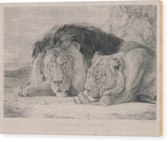 536x454 A Sleeping Lion And Lioness Drawing By Mary Evans Picture Library