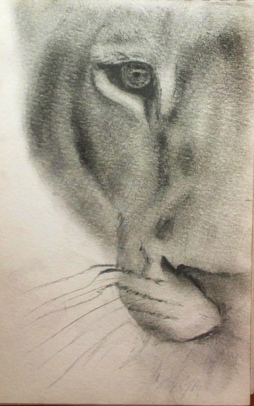 827x1318 Lioness Sketch Lion Art Art Envy Lion Art, Lions