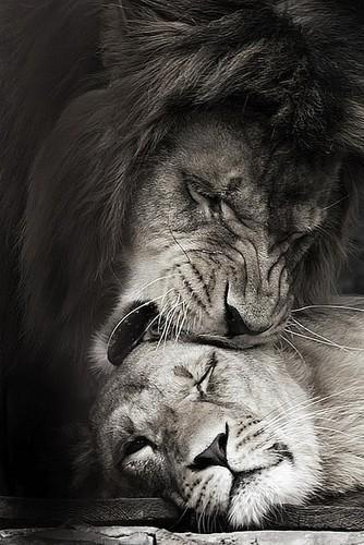 334x500 Famous Lion And Lioness Quotes Lion Lioness Quotes Lioness Quote