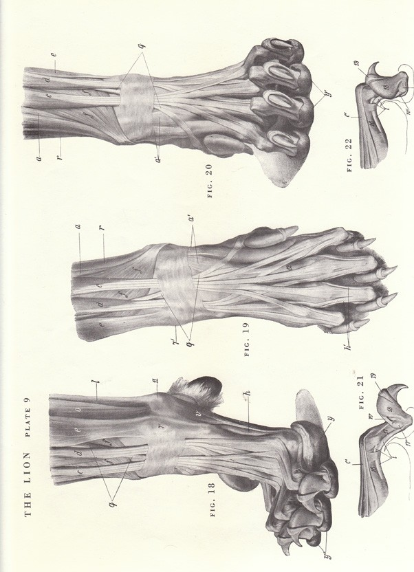 602x832 Vintage Lion Leg And Claw Skeletal View Illustration By Niminsshop