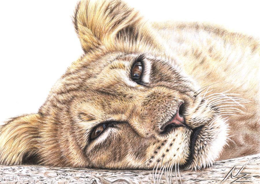 900x636 Tired Young Lion Drawing By Nicole Zeug