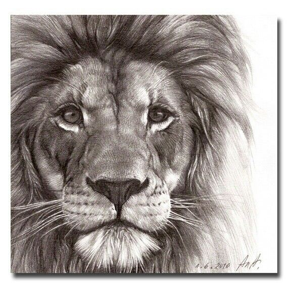 570x570 lion drawing