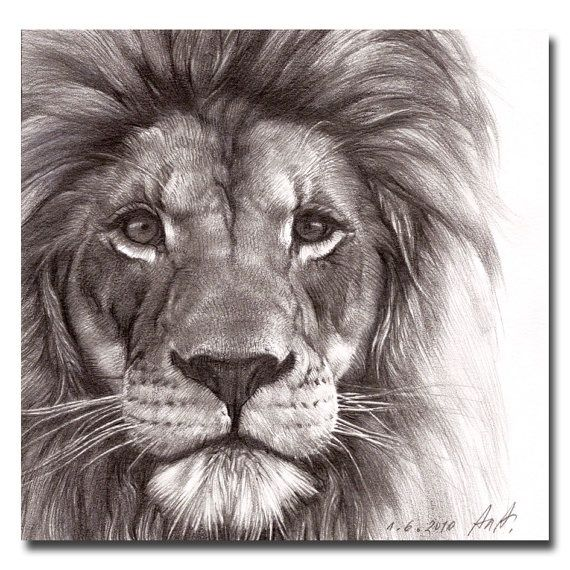570x570 best pencil drawing of a lion
