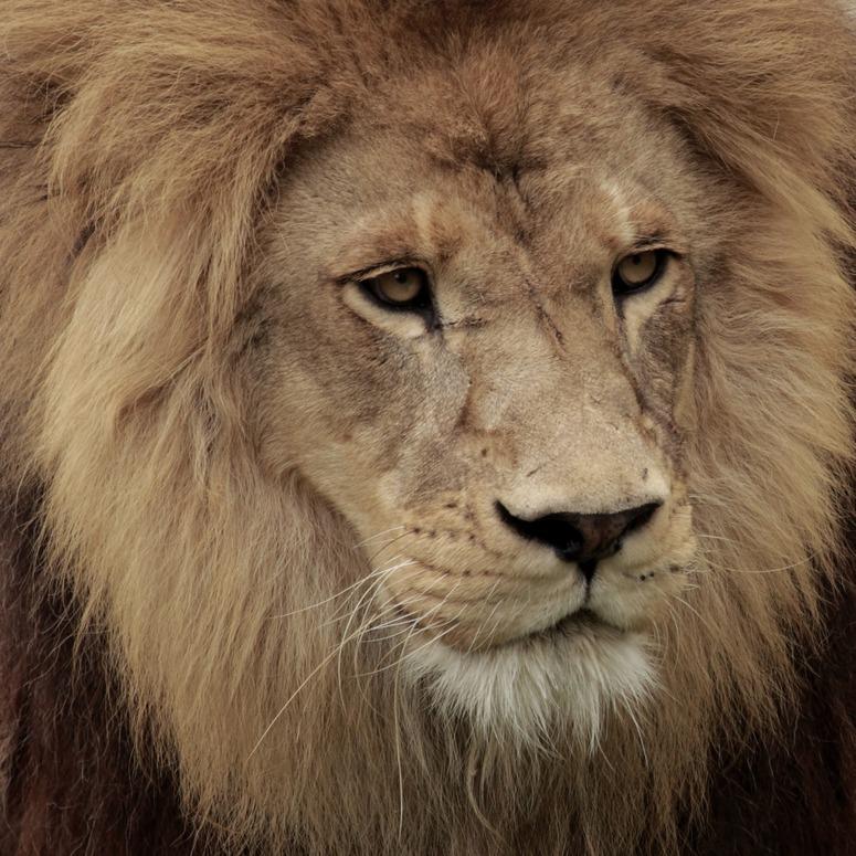 775x775 To Draw A Lion Head