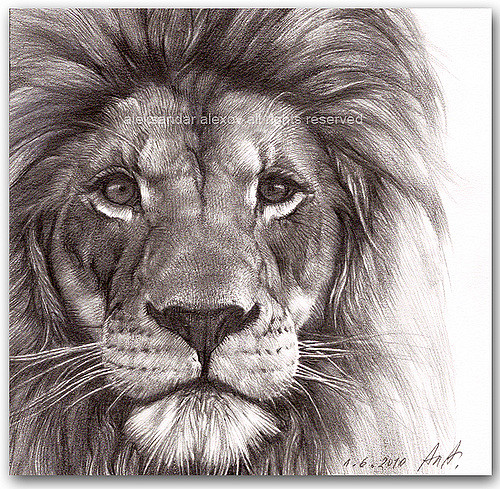500x489 Lion Portrait Medium Pencil On Heavy Artist Paper Canson