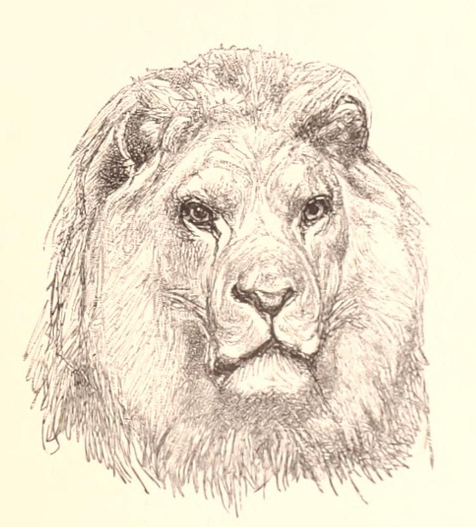 968x1071 Public Domain Stunning Lion Head Drawing By Rosa Bonheur