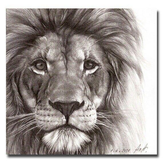 570x570 Drawings Lion 25 Unique Lion Drawing Ideas On Lion Art