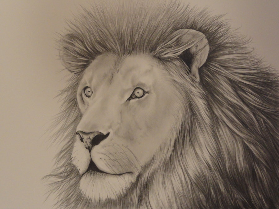 900x675 African Lion Drawing By Apollo10