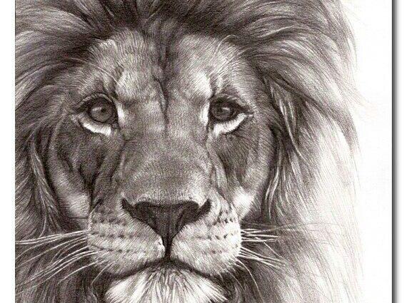 570x425 Drawings Lion 25 Unique Lion Drawing Ideas On Lion Art