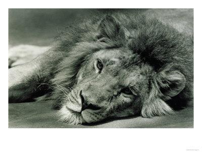 400x300 D822 Male Lion Lying Down Giclee Print