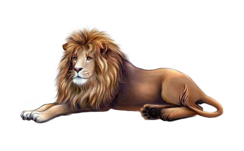 800x498 Lion Lying Down Drawing