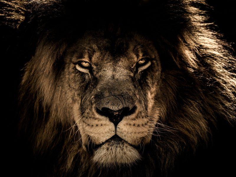 800x600 African Lion Mane Close Eyes Awesome Desktop Hd Wallpaper