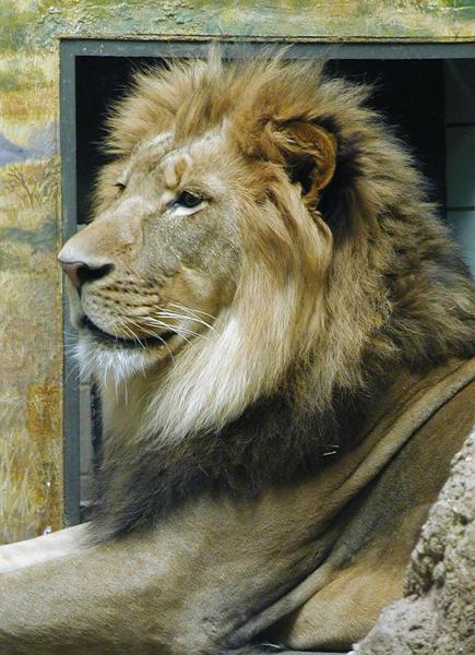 435x600 Help Lion's Mane