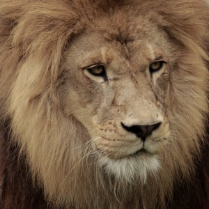 300x300 How To Draw A Lion Head