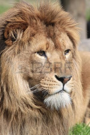 301x450 Lion Mouth Open Stock Photos. Royalty Free Business Images