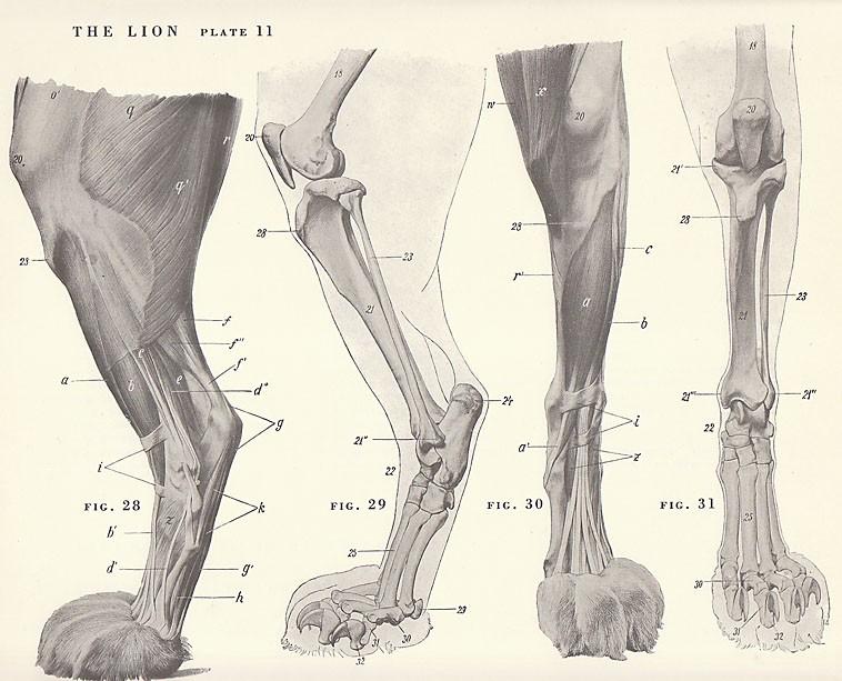 758x613 Lion Paw Anatomy Vintage Lion Paw Foot