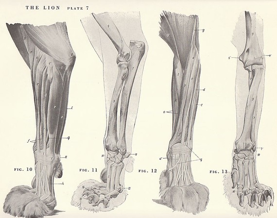 570x449 Vintage Lion Paw Musculature Skeleton View Illustration Book Page
