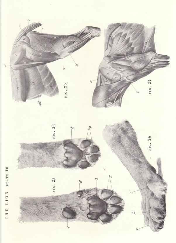 602x832 Vintage Lion Paw Shoulder Hind Quarters View Illustration Book
