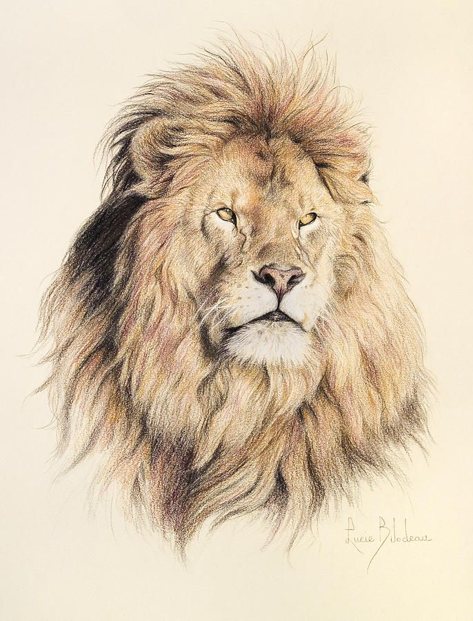 686x900 Mufasa Drawing By Lucie Bilodeau Animals Draw