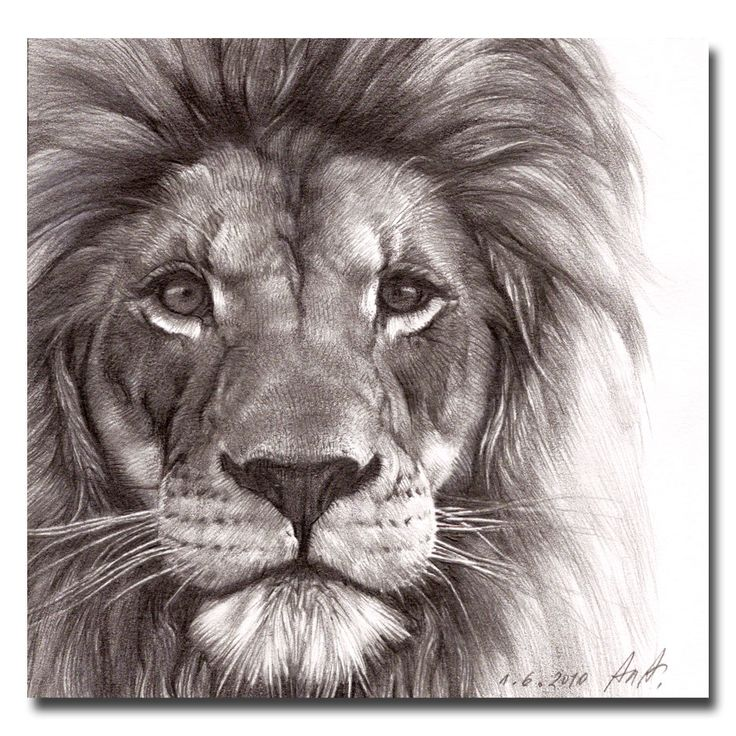 736x736 Animals Art Drawings Lion Tattoo Lion Drawings Lion Drawing Tattoo
