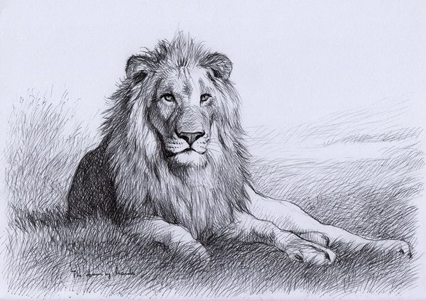 600x424 Resting Lion 10 Cool Lion Drawings For Inspiration, Httphative