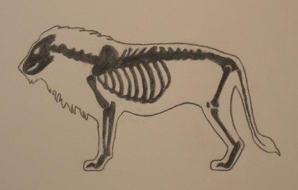 600x383 Lion Anatomy Study By Gregfox