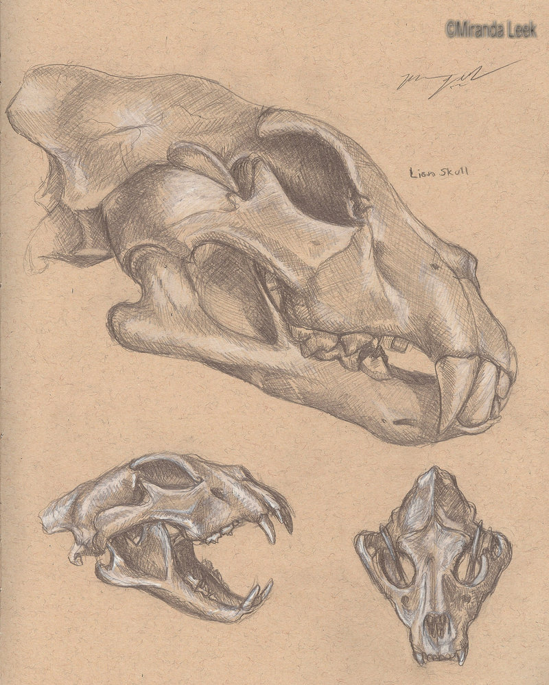 800x999 Lion Skulls By Redcoaster
