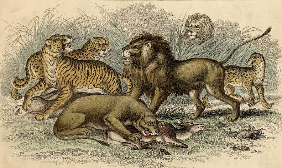 900x538 1. Asiatic Lion. 2. Lioness. 3.bengal Drawing By Vintage Design Pics