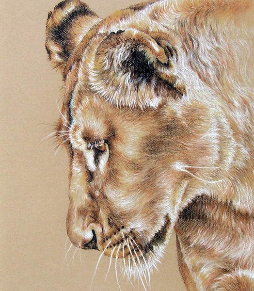 524x600 Lioness Drawing For Sale Portrait In Pastel Pencil