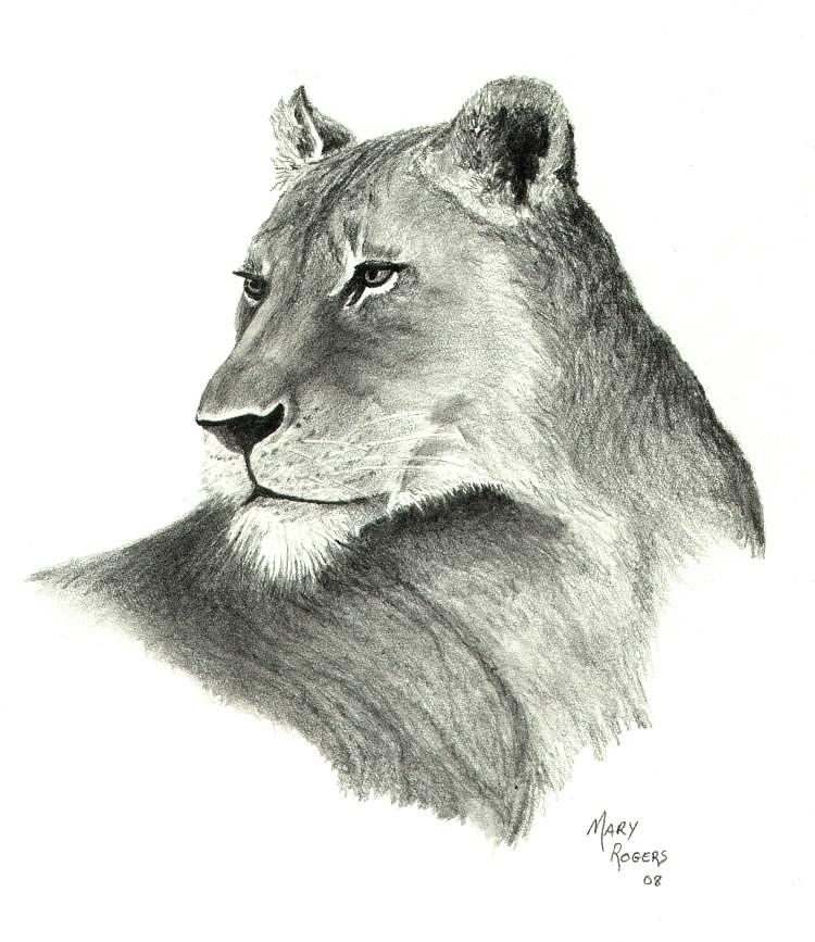 750x867 Lioness Drawing By Mary Rogers