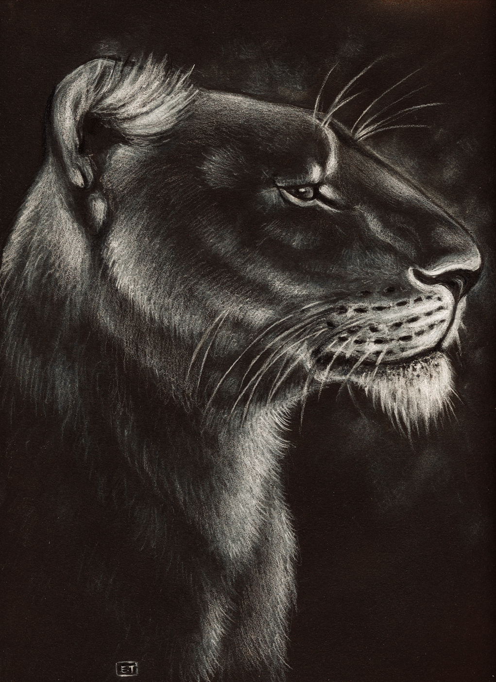 1021x1403 Lioness Drawing ,conte On Black Paper Artistic