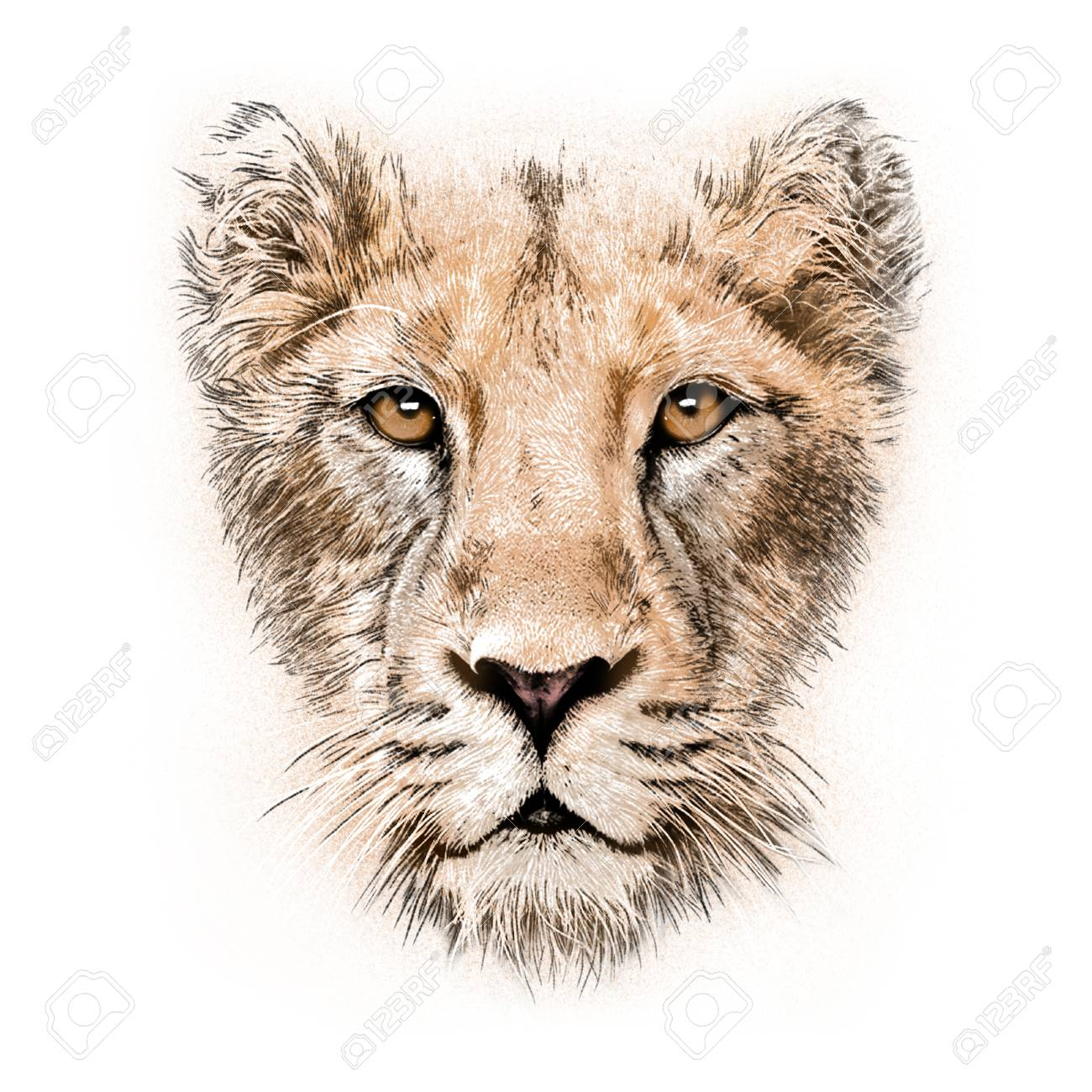 1300x1300 Hand Drawing Portrait Of A Lioness Isolated On White Background
