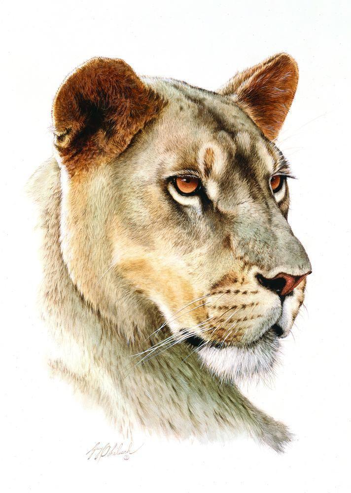 712x1000 Lioness Head16x20 Portraits Of The Big Cats Tegninger