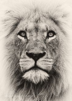 236x330 Pencil Drawings Awesome Drawings Of Lions Roaring Lion