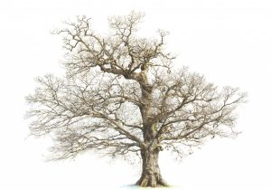 300x210 Oak Tree Pencil Drawing Free Clipart Line Drawing Live Oak Tree