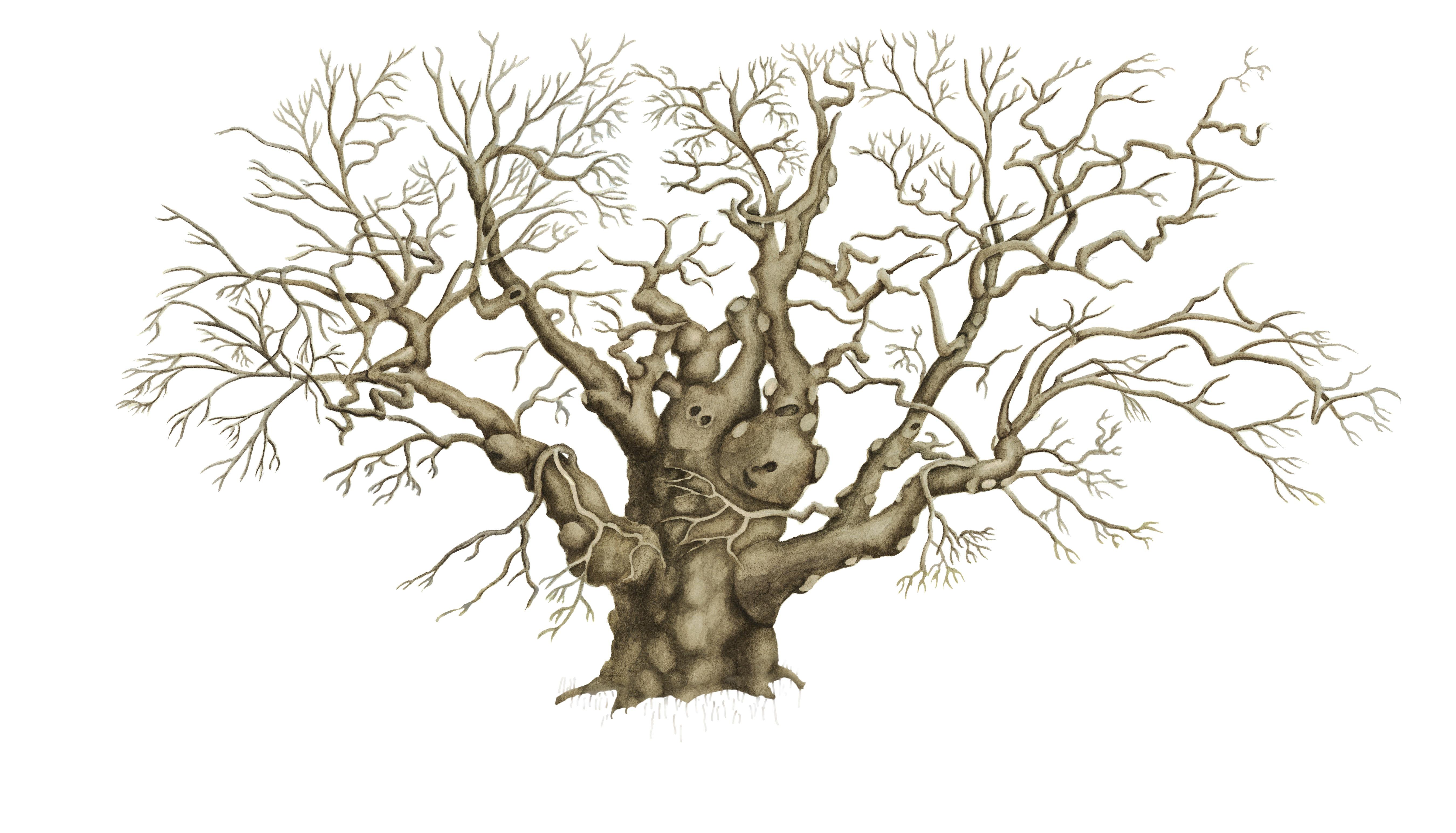 5400x3093 Old Oak Tree Drawing Savannah Candler Live Oak Tree Pen And Ink