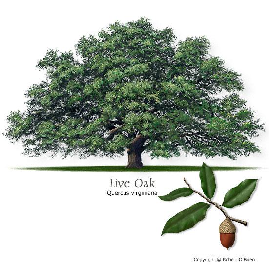 551x550 Texas Tree Selector Tree Description