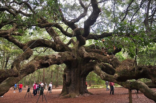 640x425 Georgia State Tree Live Oak