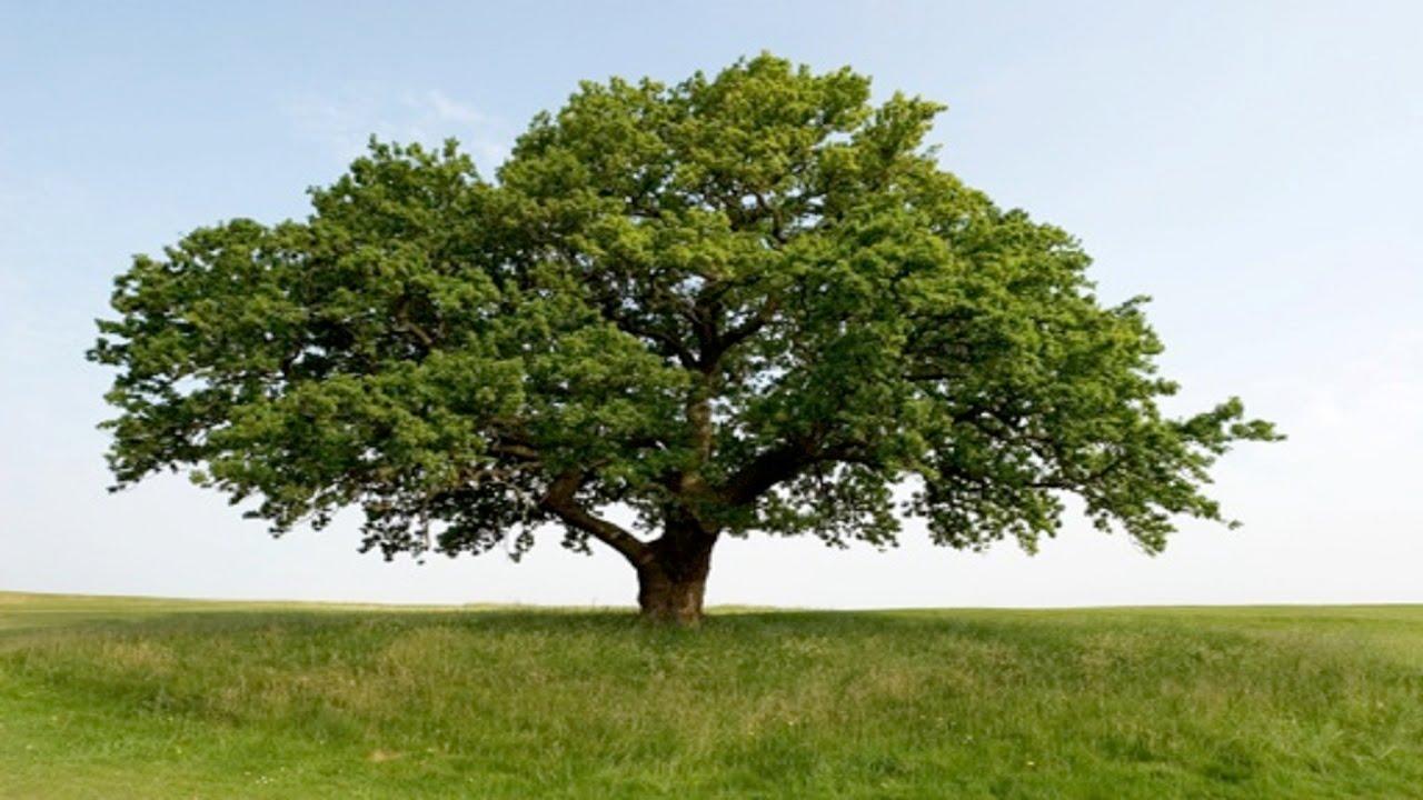 1280x720 How To Draw An Oak Tree