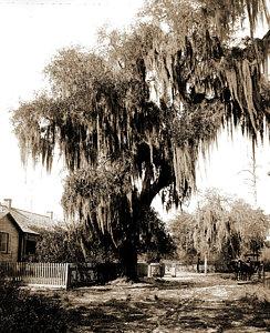 244x300 Live Oak Tree Drawings Fine Art America