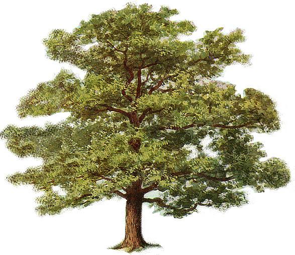 587x507 Oak Tree Drawing Color