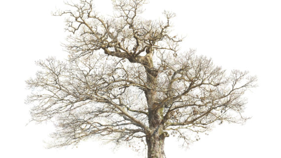 570x320 Old Oak Tree Drawing Images For Gt Oak Tree Fall Drawing